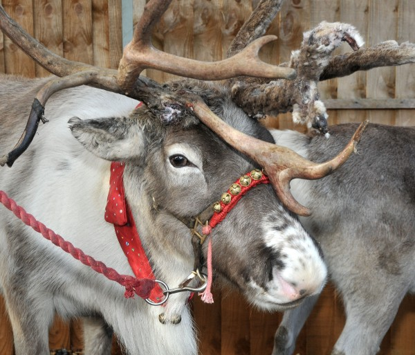 Meet the Live Reindeer at Leekes
