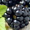Wild blackberries