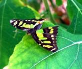 Butterflies in brum